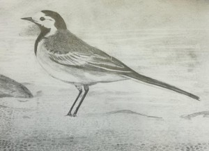 Drawing wagtail